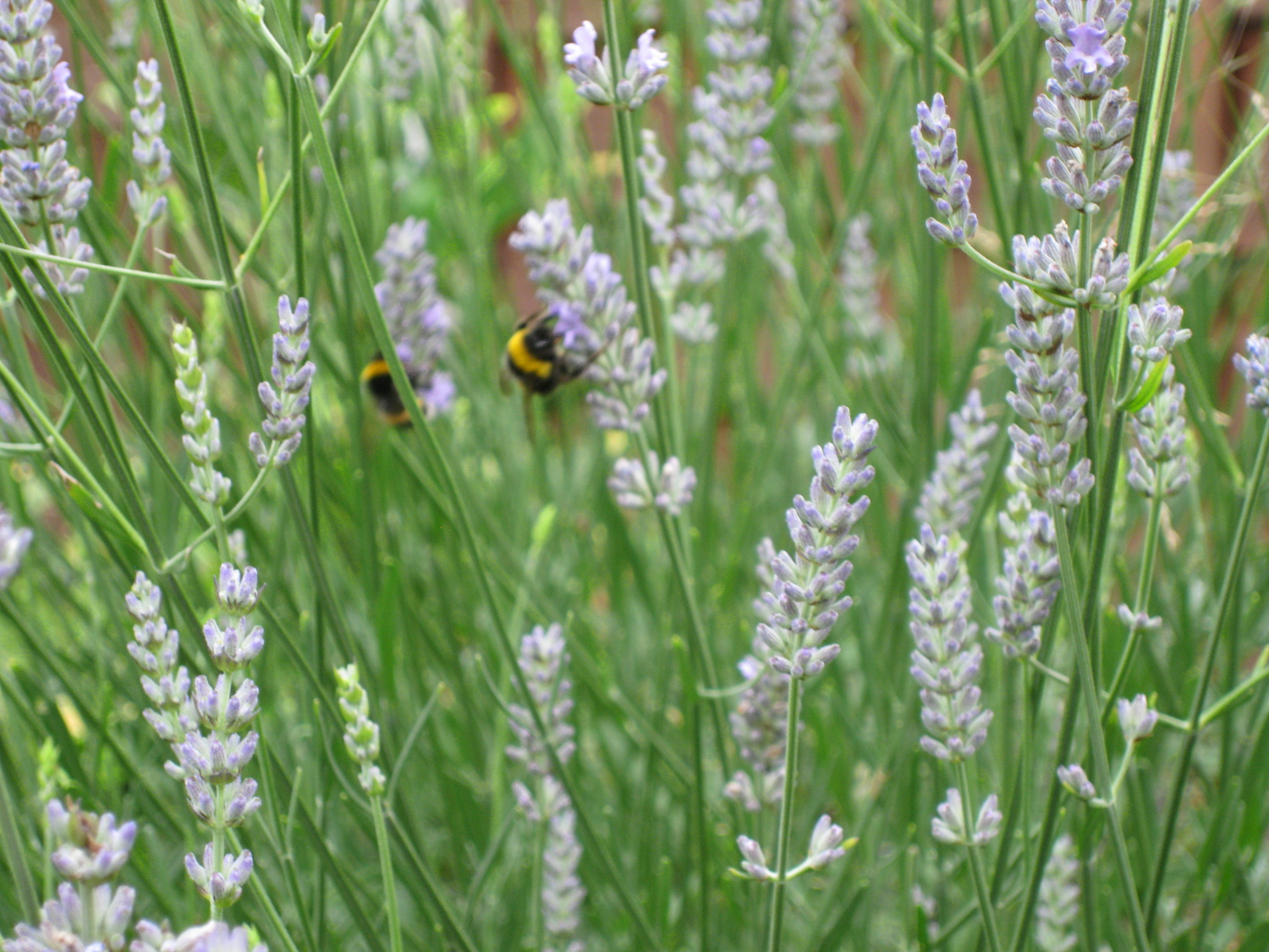 Bumble Bees on Lavender