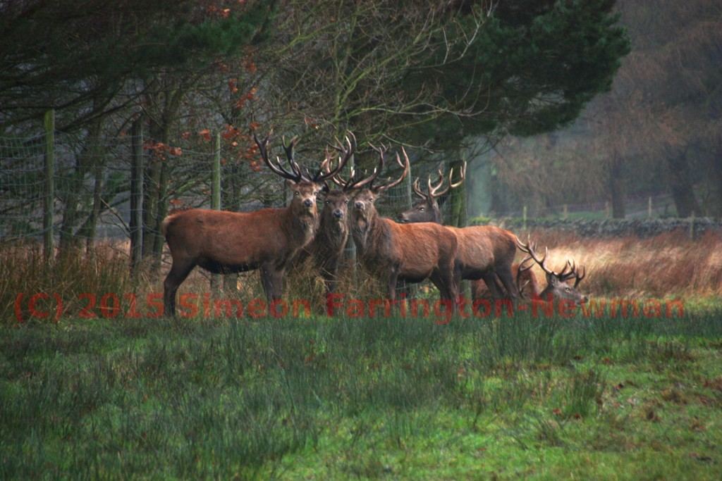 Red Deer in Lyme Park December 2015