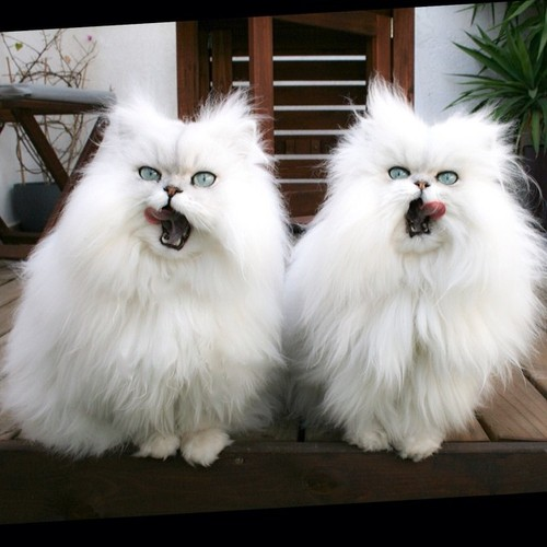 Evil Kitten Twins of Perpetual Fluffiness